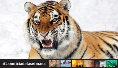 Millora l'estat de conservació del tigre