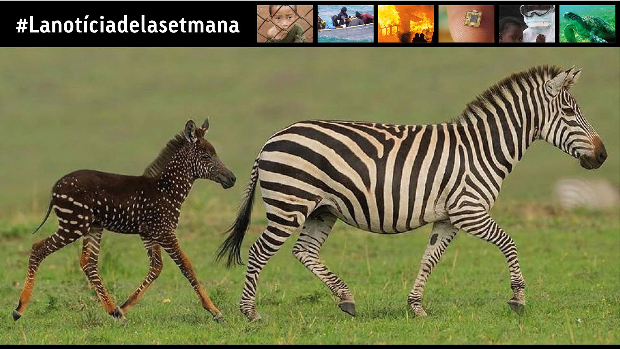 """""""Una nova zebra"""""""